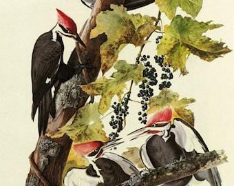 Audubon Pileated Woodpecker Bird American Fine Art Poster Repro FREE SHIPPING in USA