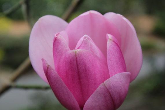 Pink Magnolia--matted black framed silver signed photo of a flower