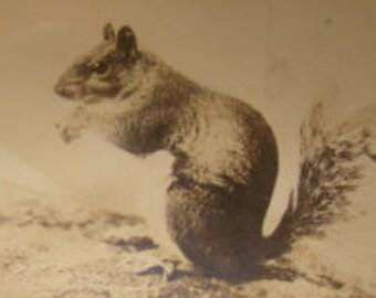 Vintage RPPC (Squirrel)