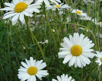 900 Shasta Daisy Seed (L)