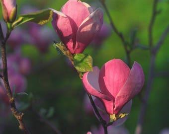 Magnolia flower Photography