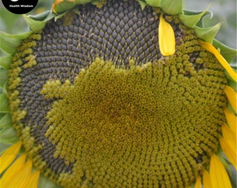 Buy Sunflower Seeds Plant Helianthus Annus For Kwai Seed