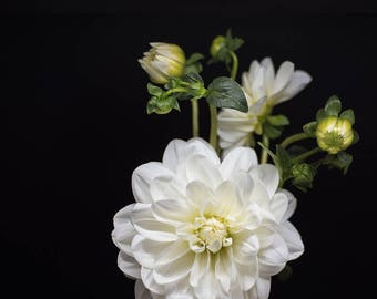 dahlia flower | wall decoration | modern art | nature photos