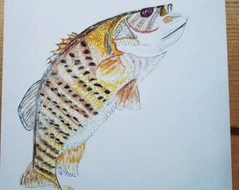 SMALLMOUTH BASS Fish Fishing Colored Pencil Sketch Art Scott D Van Osdol 8x10 Glossy Fuji Color Print Of My Original Artwork Ready To Frame