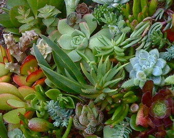 35 SUCCULENT CUTTINGS - Succulent plants, Succulent Wedding Favors