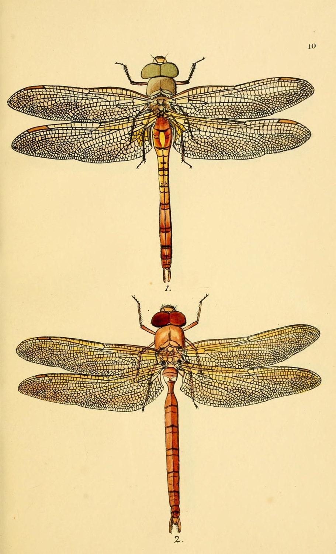 Vintage dragonfly art print an antique scientific