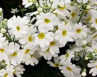 White Fairy Primrose Flower Seeds / Malacoides / Perennial 50+