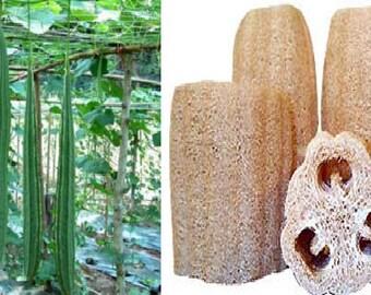 Thai long luffa-Sponge gourd (10 SEEDS) or Luffa cylindrica (10 SEEDS)
