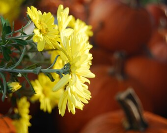 Pumpkins and Yellow Flowers Background or Wallpaper - Autumn Seasonal Photography - Digital Download - Home Decor