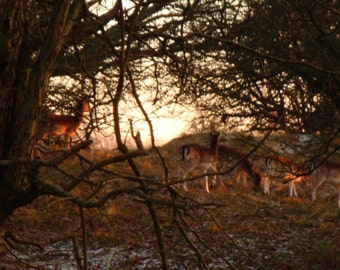 Deers in Sunset, Nature Photography