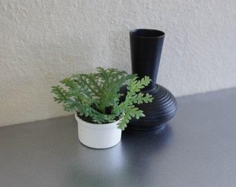 Maidenhair Fern in Various Pots