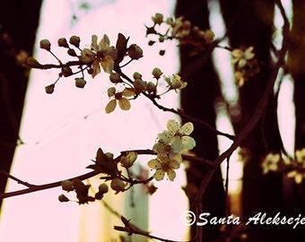 Cherry blossom - Fine Art Photography - Digital photography download, instant download, flower photography, spring photo, blossom photo