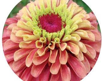 1000Pcs A Set Double Queen Red Zinnia Flower Seed prodgf hidgf whydgf kaolal weibog kfsee ngryise dwarfgiantfarm studio