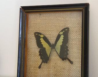 """Véritable papillon  naturalisé  dans son cadre  en bois """" Phorcas""""  ,butterfly"""