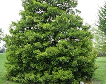 American Holly Tree Seeds, Ilex opaca - 25 Seeds
