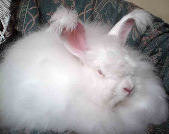 """Handplucked White Angora Rabbit Spinning Fiber  1 oz. """"Dandelion"""""""