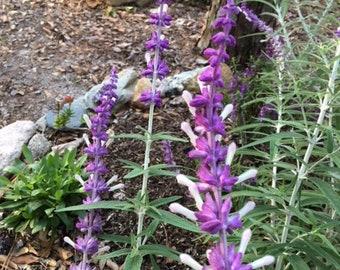 Mexican Sage Plant Live Plant