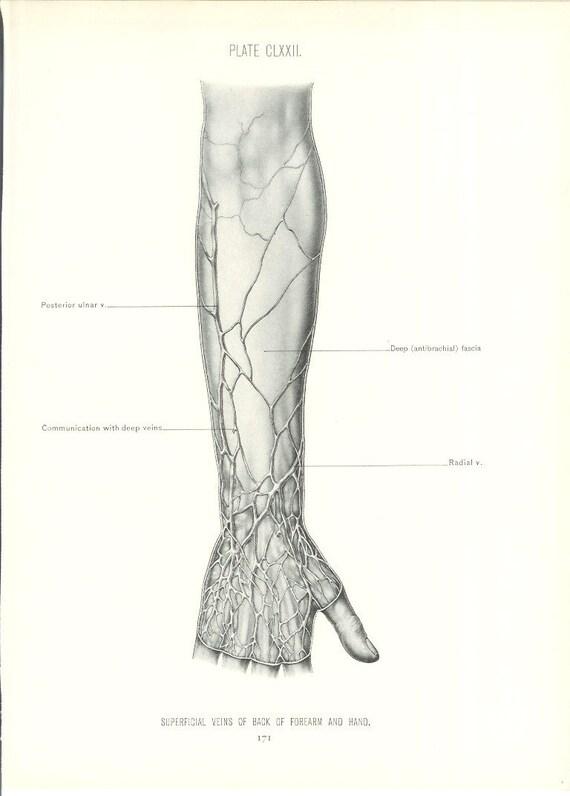 1926 Human Anatomy Print Veins of Forearm and Hand Vintage