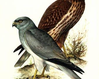 1969 Hen Harrier Print Vintage illustration Bird of Prey Ornithology Nature Wall art Home Decor