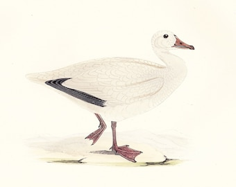 Snow Goose . Vintage Bird Print . original old antique ornithology woodblock art plate . Vol. V dated 1897