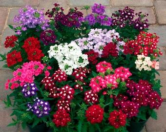 0.2g (approx. 80)  garden verbena seeds VERBENA HYBRIDA brightly colored fragrant blossom <Fresh seeds - Best before 12.2019!>