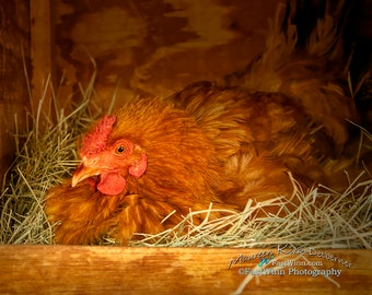 Photo of hen sitting eggs Rhode Island red hen Rustic kitchen wall art Farmhouse Kitchen decor Farmhouse wall art chicken photography