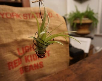 Hanging Air Plant