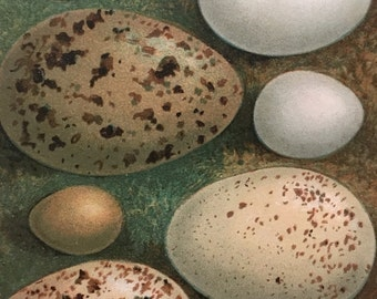 Antique Original Print 1901 British Birds Eggs