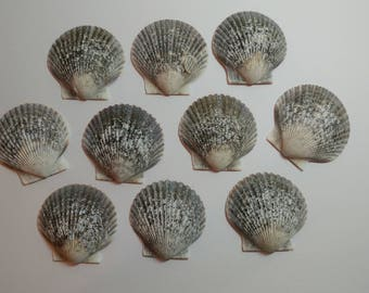 Genuine Scallop Shells - From Crystal River, FLorida - Freshly Caught by me - Shells - Seashells - Grey Seashells - 10 Natural Shells  #119
