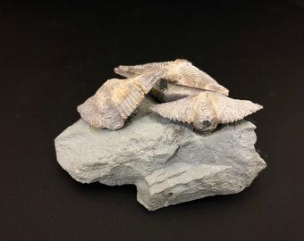 Brachiopod Fossil Mucrospirifer