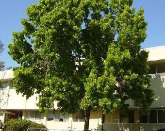 50 American Sweetgum Tree Seeds, Liquidambar styraciflua