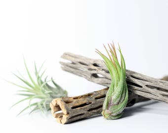 Tillandsia Scaposa Air Plant // Hello Tilly Airplant