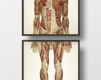 Human Anatomy MUSCLE System, Front Pair - HU-07 HU-08 - Fine art prints of a vintage medical anatomical illustrations