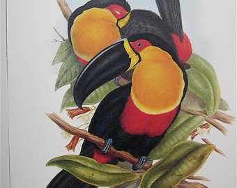 John Gould Vintage Reproduction of an Antique Toucan Print