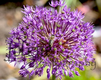 "Fine Art Digital Photography Print ""Allium w/Bee"""