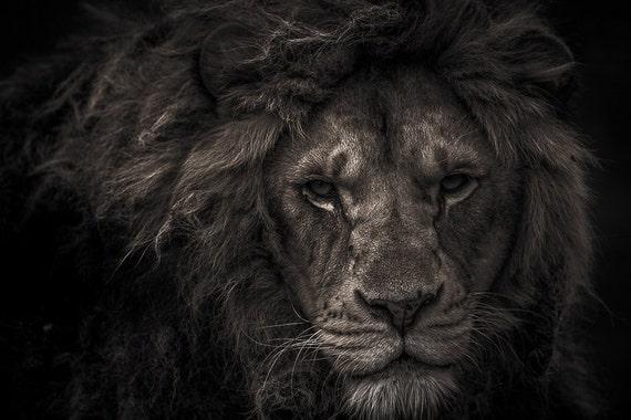 Lion Man Cave Art : Lion photography print wall art home decor head