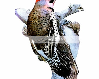Digital Download Printable Art - Woodpecker Bird Vintage Art - Paper Crafts Scrapbooking Altered Art - Instant Art - Bird Art Painting