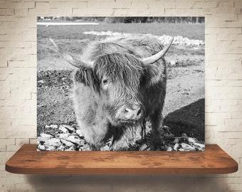 Scottish Highland Cattle Cow Photograph - Fine Art Print - Black White Photography - Wall Art Decor - Farm Pictures - Farmhouse Decor - Cows