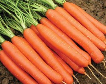 Carrot Nantes 100 seeds - Daucus carota - Organic, non-GMO