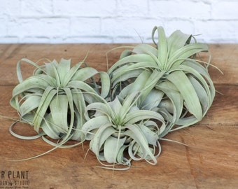 3 Xerographica Air Plants - FREE SHIPPING!