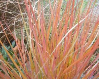 50 PHEASANT TAILS GRASS Feather Reed New Zealand Wind Stripa Arundinacea Ornamental Seeds