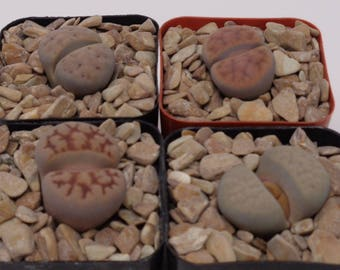 4 Pack Assorted Lithops