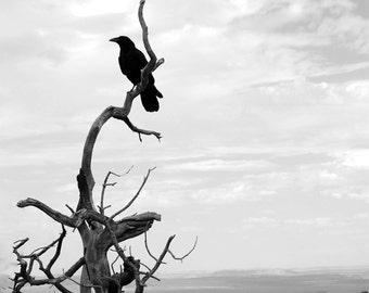 Black Raven - Digital Photography - Raven Photography, Crow Art, Raven Decor, Crow, Raven Fine Art, Bird Decor, Black and White Photography