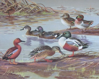 Surface Feeding Duck/Teals, Vintage Book Plate, Book Page, Bird Print, North American Species, 1968