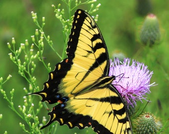 Yellow Swallowtail in a Pink Flower