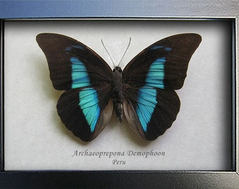 Blue Reflector Archaeoprepona Demophoon Real Butterfly In Shadowbox
