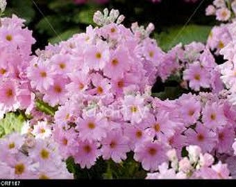 Primrose- Fairy- Pink- 50 Seeds