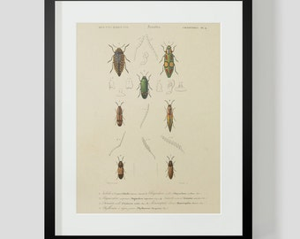 Vintage Insect Coleopteres Entomology Plate 4