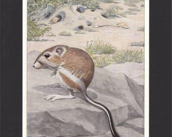 Kangaroo Rat Print 1918 by Louis Agassiz Fuertes  Original Vintage Mounted Print Kangaroo Rat Picture Fuertes Print