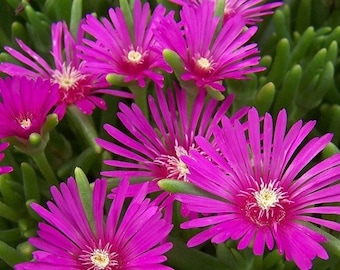 30+ Delosperma x Cooperii, TABLE MOUNTAIN, FUCHSIA Ice Plant / Heat & Cold Hardy Perennial Flower Seeds